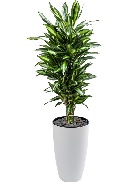 The urban garden auckland s indoor plant hire specialists plants for your office - Tall office plants ...